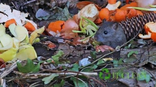 Rats In Compost