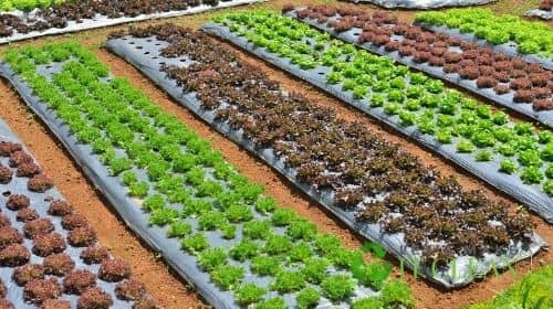 Assorted Vegetables Rows